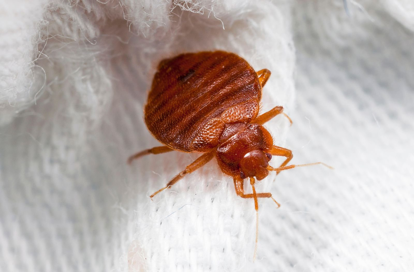 Why Do Bed Bugs Keep Coming Back Sigma Pest Control