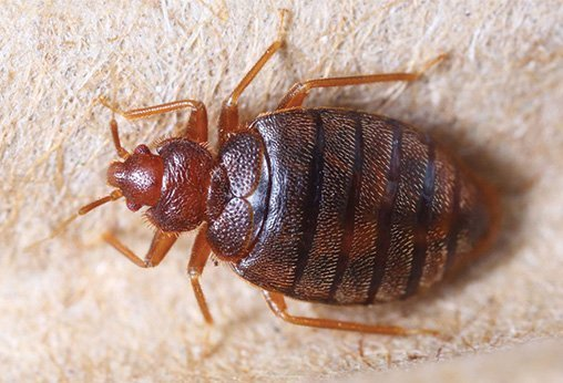 Bed Bug Life Cycle Sigma Pest Control