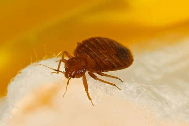 Bed Bugs Sigma Pest Control