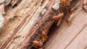 Subterranean termite behavior