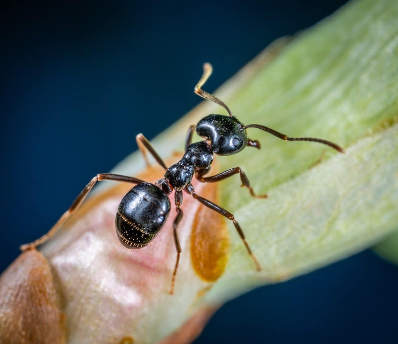 carpenter ant sigma pest control