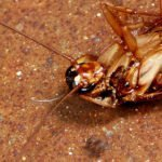Are cockroaches dangerous