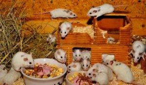 house mouse sigma pest control