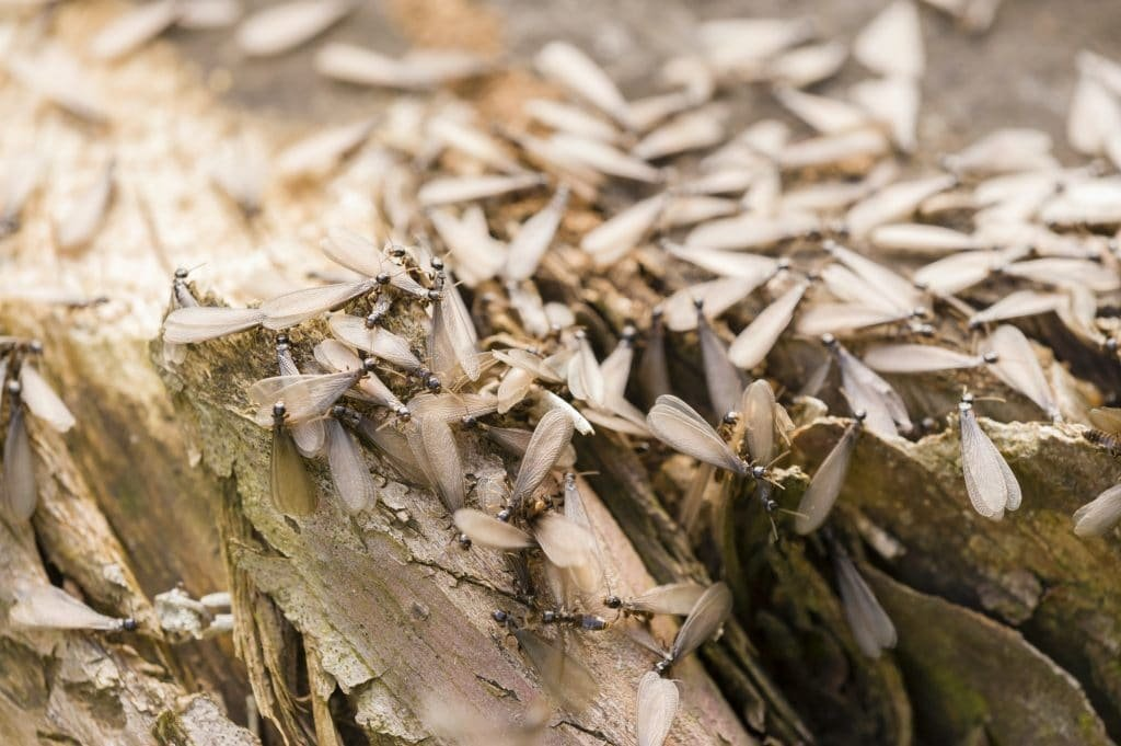 Termites 101 weather affects insects