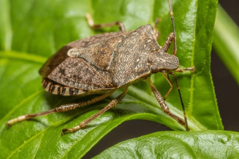 Invasive Pest Species