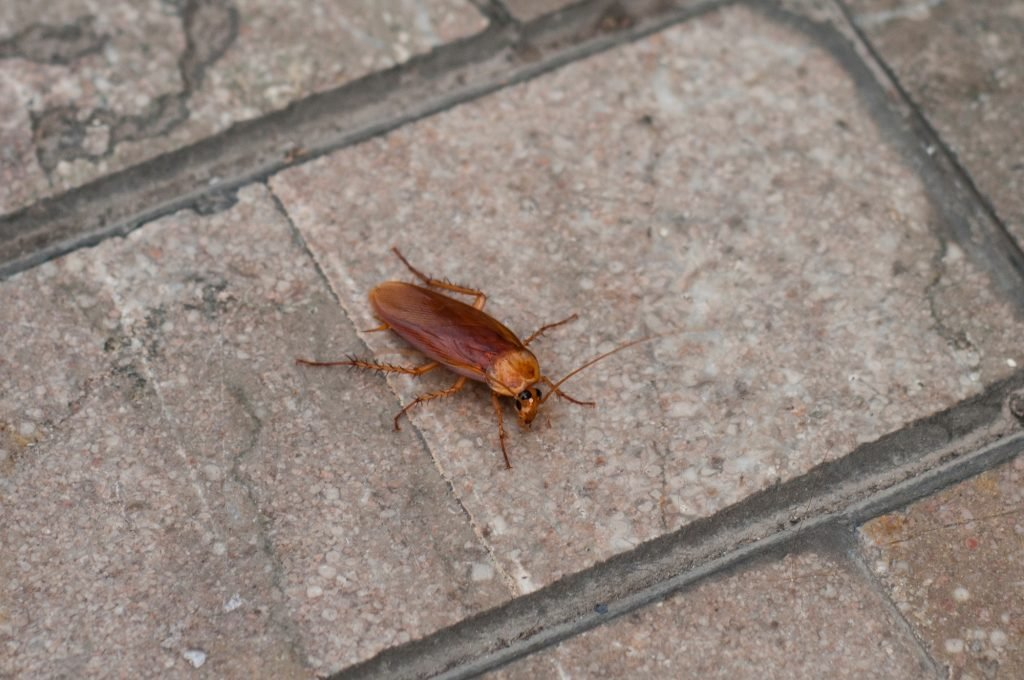 Huge red cockroach on a paved street.
