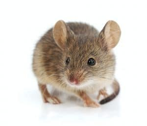 prevent rodents